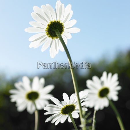 rear view of sunlit daisies against