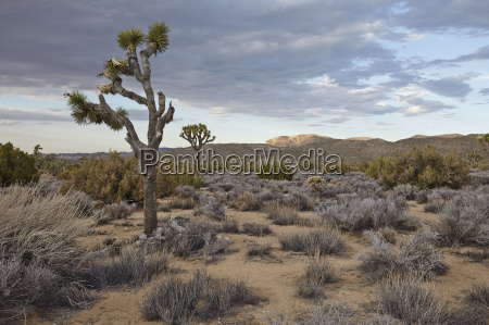 landscape view of joshua tree national