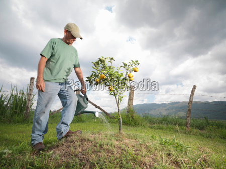 man watering a young orange tree
