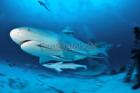 bull sharks carcharhinus leucas migrate through