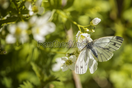 green veined white butterfly pieris napi