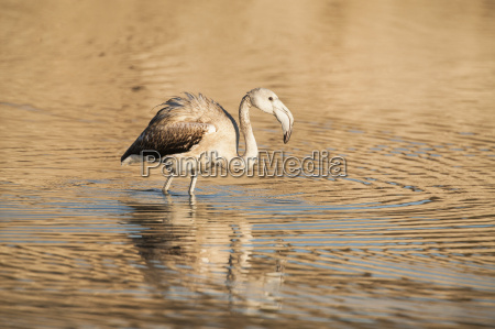 side view of juvenile greater flamingo