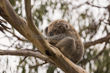 low angle view of koala phascolarctos