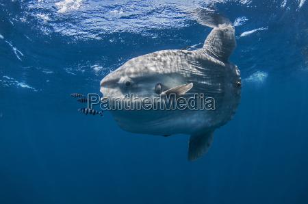 underwater view of mola mola ocean