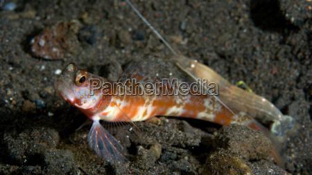 blind shrimp with shrimp goby