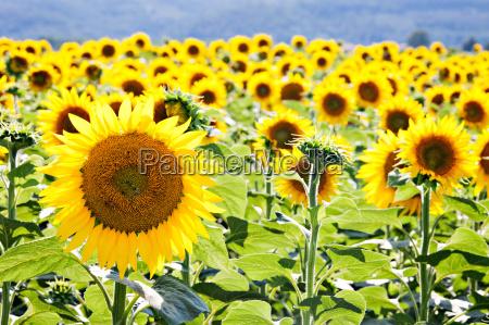 field of sunflowers close up