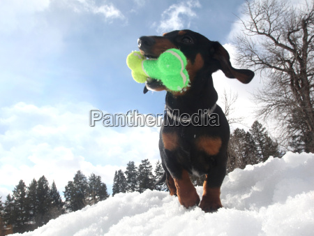 low angle view of dachshund with