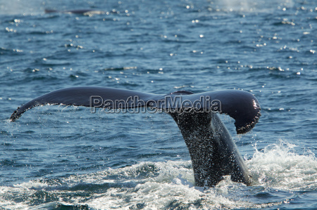tail of humpback whale cape cod