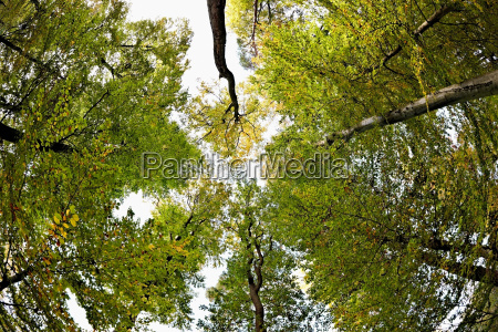 low angle view of beech trees