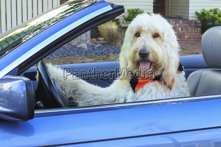 shaggy white doodle dog driving convertible