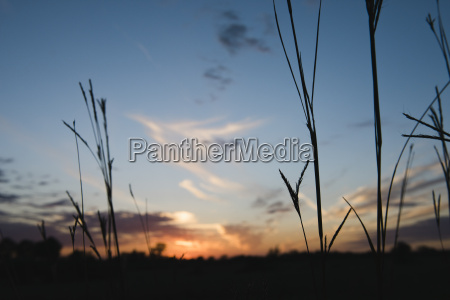 silhouetted long grasses at sunset