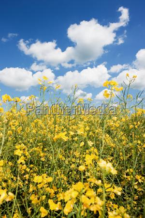 rape field with blue sky and