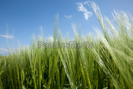 close up of long grass