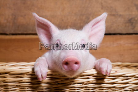piglet in basket close up