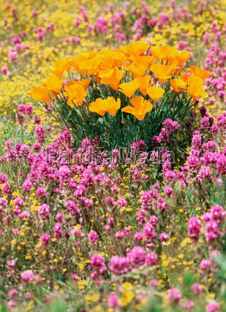 california poppy in the antelope valley