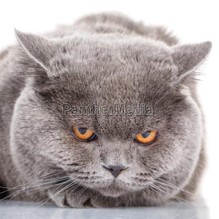 portrait gray cat british straight with
