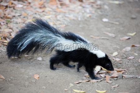 striped skunk mephitis mephitis rancho