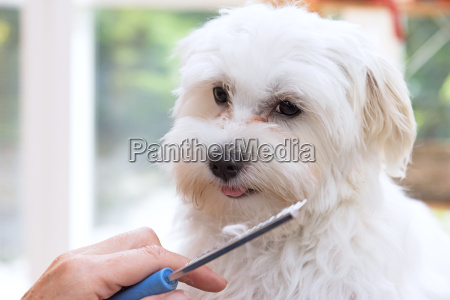 combed white dog is looking at