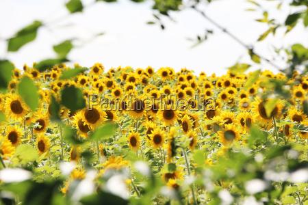 field of sunflowers frame tree