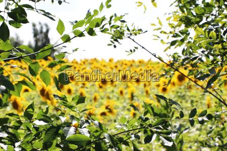 frame branch sunflowers