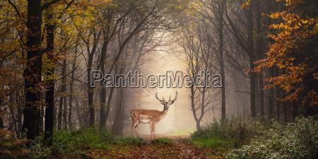 fallow deer on a walk in