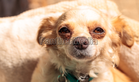 small blond chihuahua puppy dog in