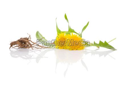 dandelion background herbal remedy