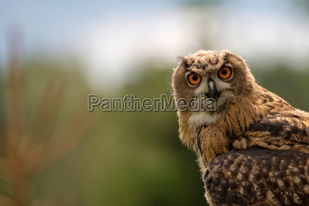 eagle owl in the wild a