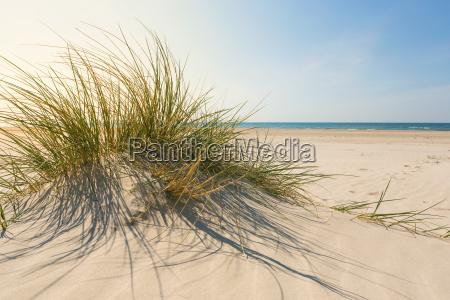 dune grass in summer closeup