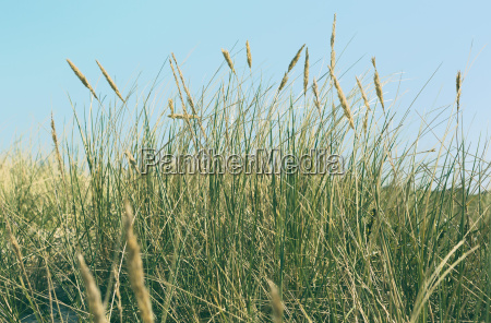 marram grass in autumn