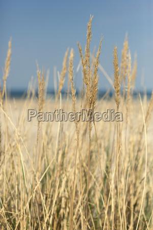 beach oats in the sun