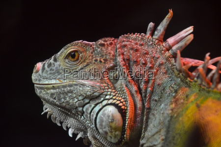 close up portrait of green iguana