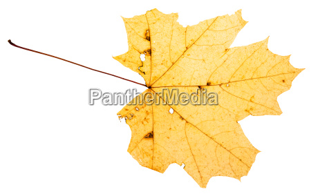 yellow leaf of maple tree isolated