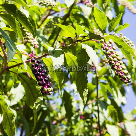 black berries on a tree