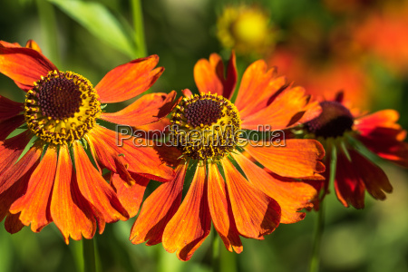 orange summer flowers