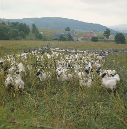 granja de ovejasregion de highlandescociareino unidoeuropa