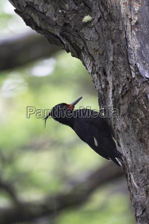 female magellanic woodpecker campephilus magellanicus torres