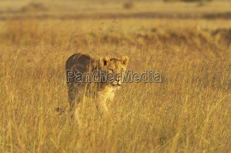 lioness panthera leo walking through tall