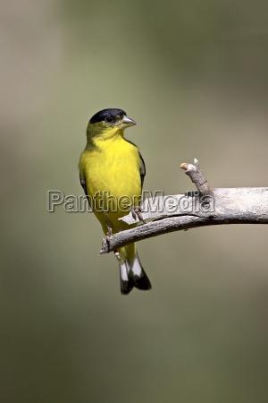 male lesser goldfinch carduelis psaltria chiricahua