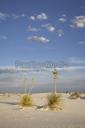 yucca plants on a dune white