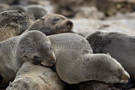 cluster of cape fur seal south