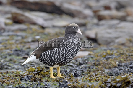 female falkland flightless steamer duck tachyeres