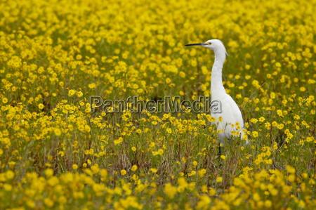 snowy egret egretta thula among goldfields