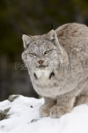 canadian lynx lynx canadensis in the