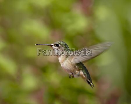 female calliope hummingbird stellula calliope hovering