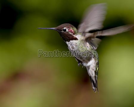annas hummingbird calypte anna hovering near