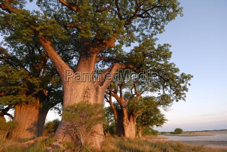 baines baobabs nxai pan botswana africa