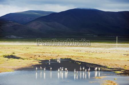 james flamingos phoenicoparrus jamesi bolivia south