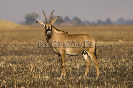 roan antelope busanga plains kafue national