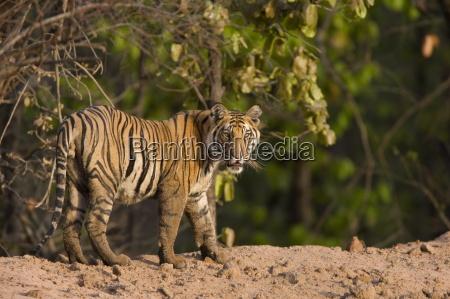 bengal tiger panthera tigris tigris bandhavgarh